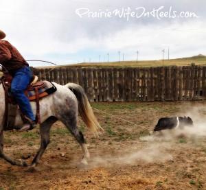 dragging calf